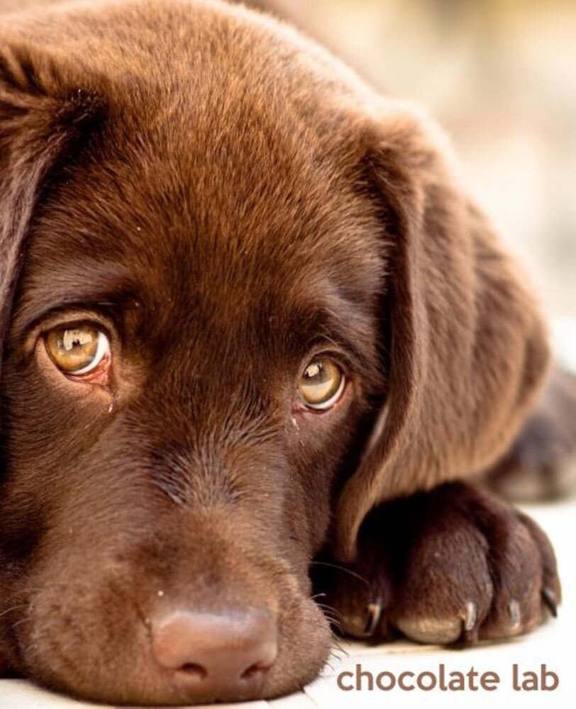 Chocolate Lab: A Gift Journal for People Who Love Dogs: Chocolate Labrador Retriever Edition, Paperback